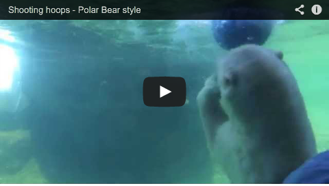 Shooting hoops – polar bear style