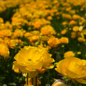 Yellow rununuclus soaking up the sun