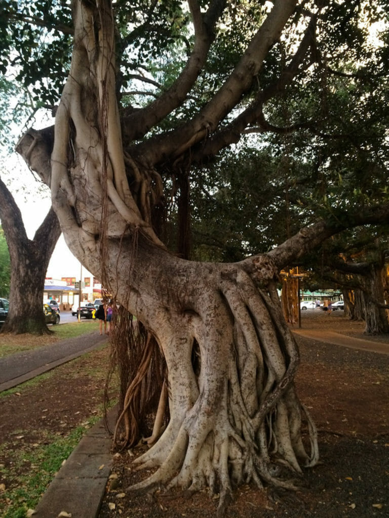One of the downtown Lahaina banyan trees
