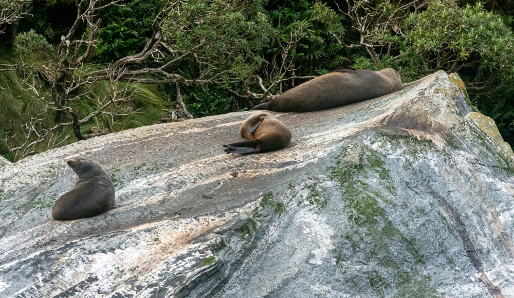 New Zealand Fur Seals resting