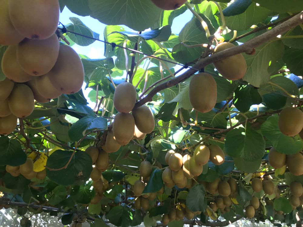 You'll be seeing gold kiwi fruit in the US soon
