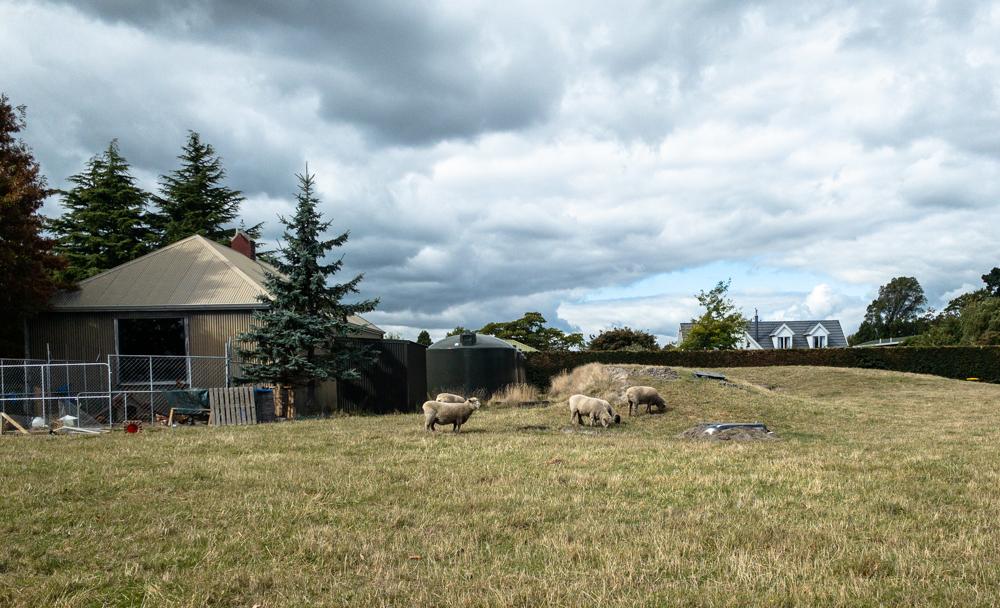 Raising sheep in Christchurch New Zealand
